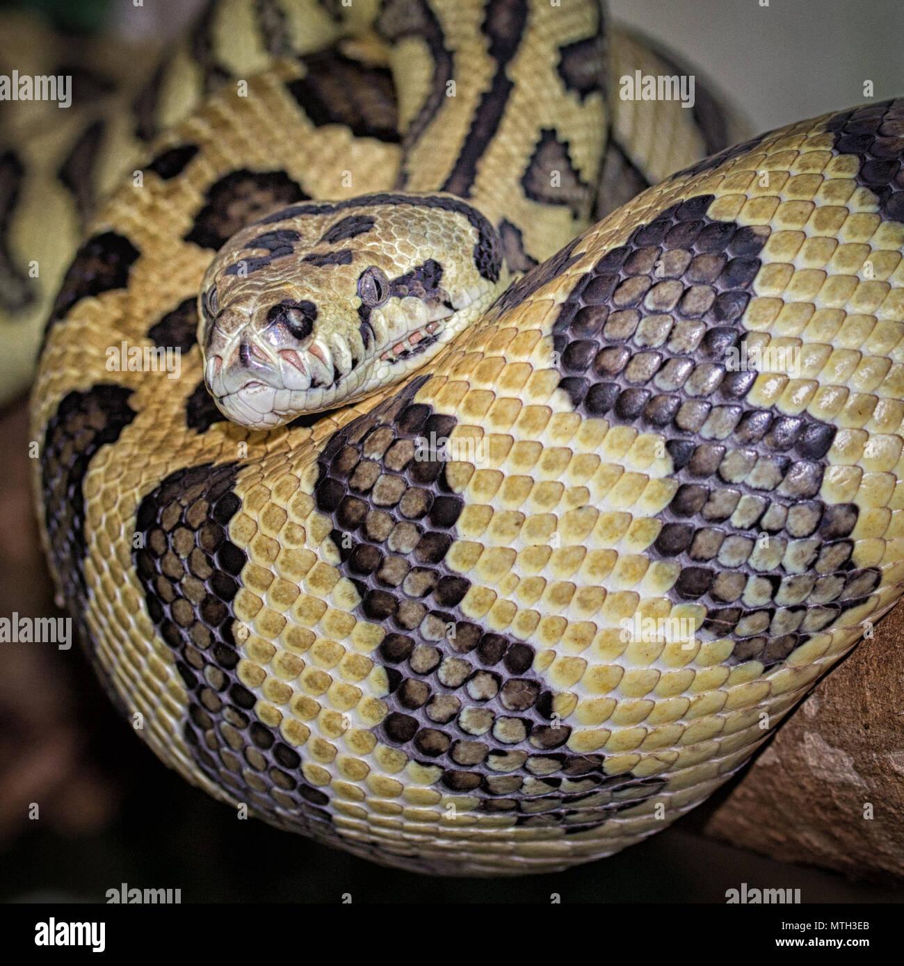 Formato cuadrado de una fotografía de una alfombra enrollada python Foto de stock