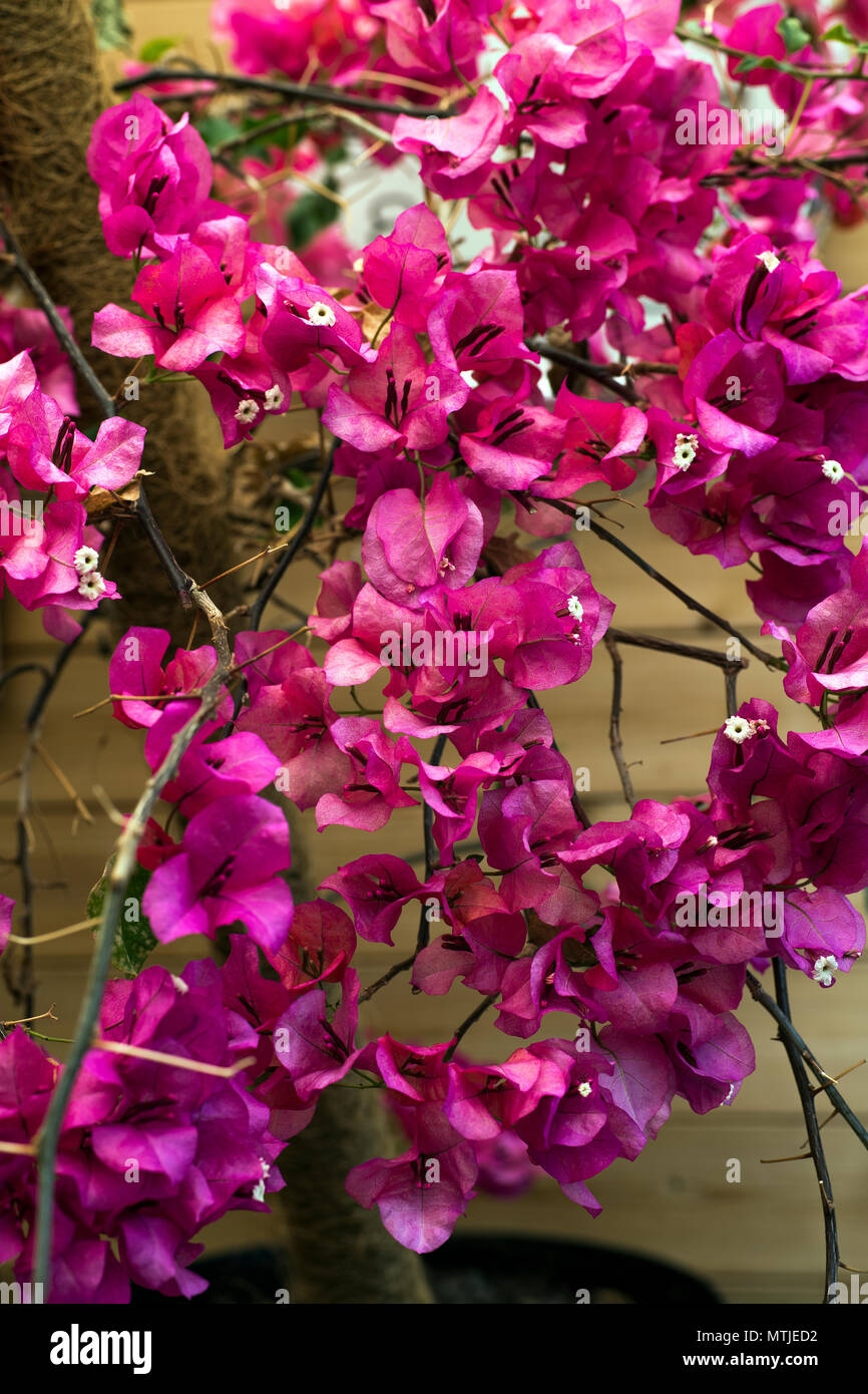 Una Cascada De Buganvillas Rosas Hermosas Flores Foto Imagen De