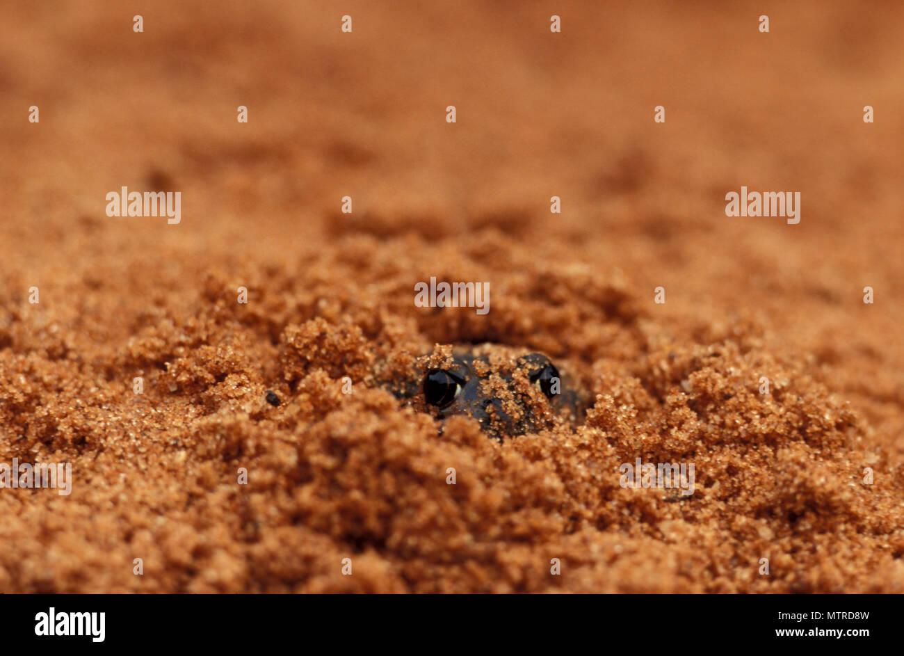 Sapo (NEOBACRACHUS KUNAPALARI KUNAPALARI) Goldfields, Australia Occidental Imagen De Stock