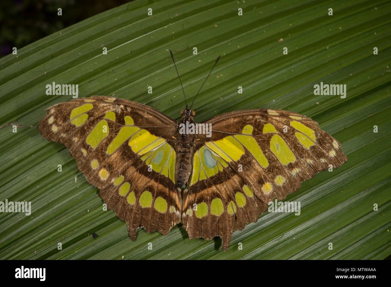 Malaquita, Siproeta stelenes, Nymphalidae, Costa Rica Foto de stock