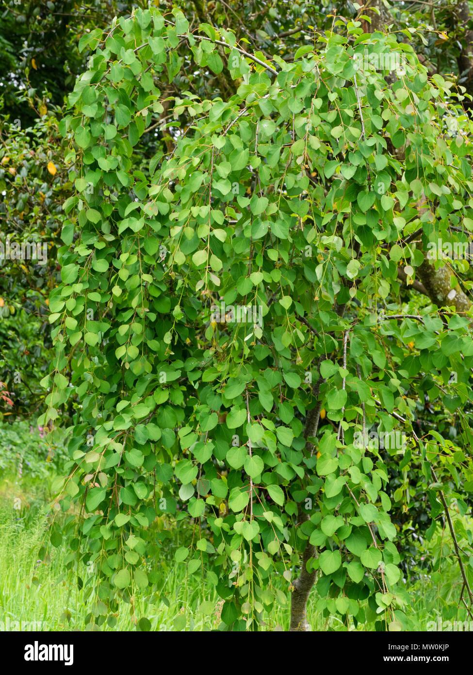 "Planta joven del llanto forma del árbol de Katsura, Cercidiphyllum japonicum ""Amazing Grace"" Imagen De Stock"