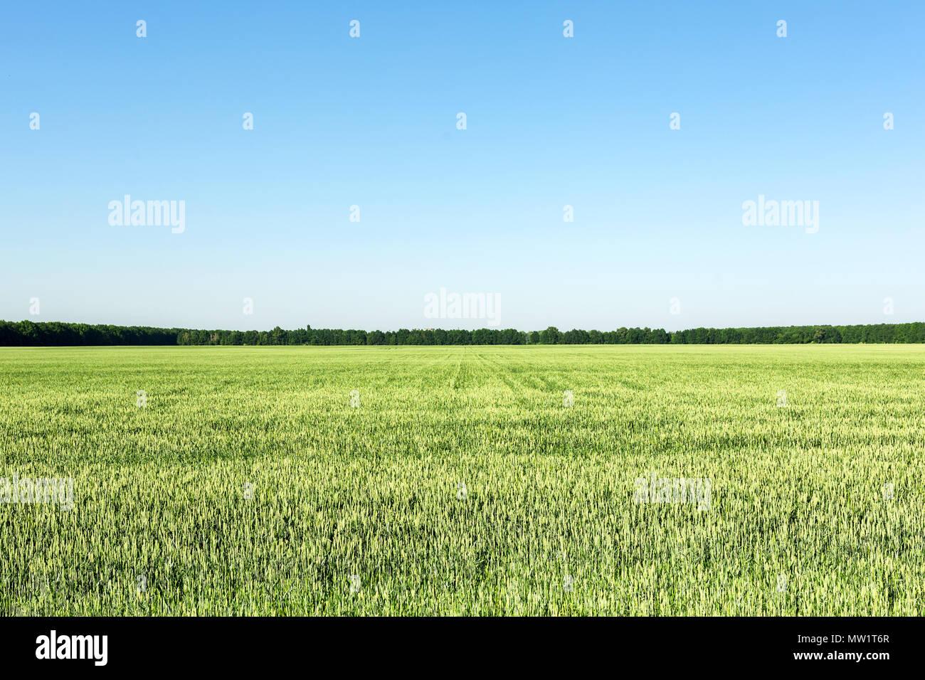 Terreno agrícola con jóvenes de las plantas de trigo verde. El azul claro del cielo sin nubes sobre el fondo. La igualdad de dividir la imagen. El paisaje natural en día soleado Imagen De Stock