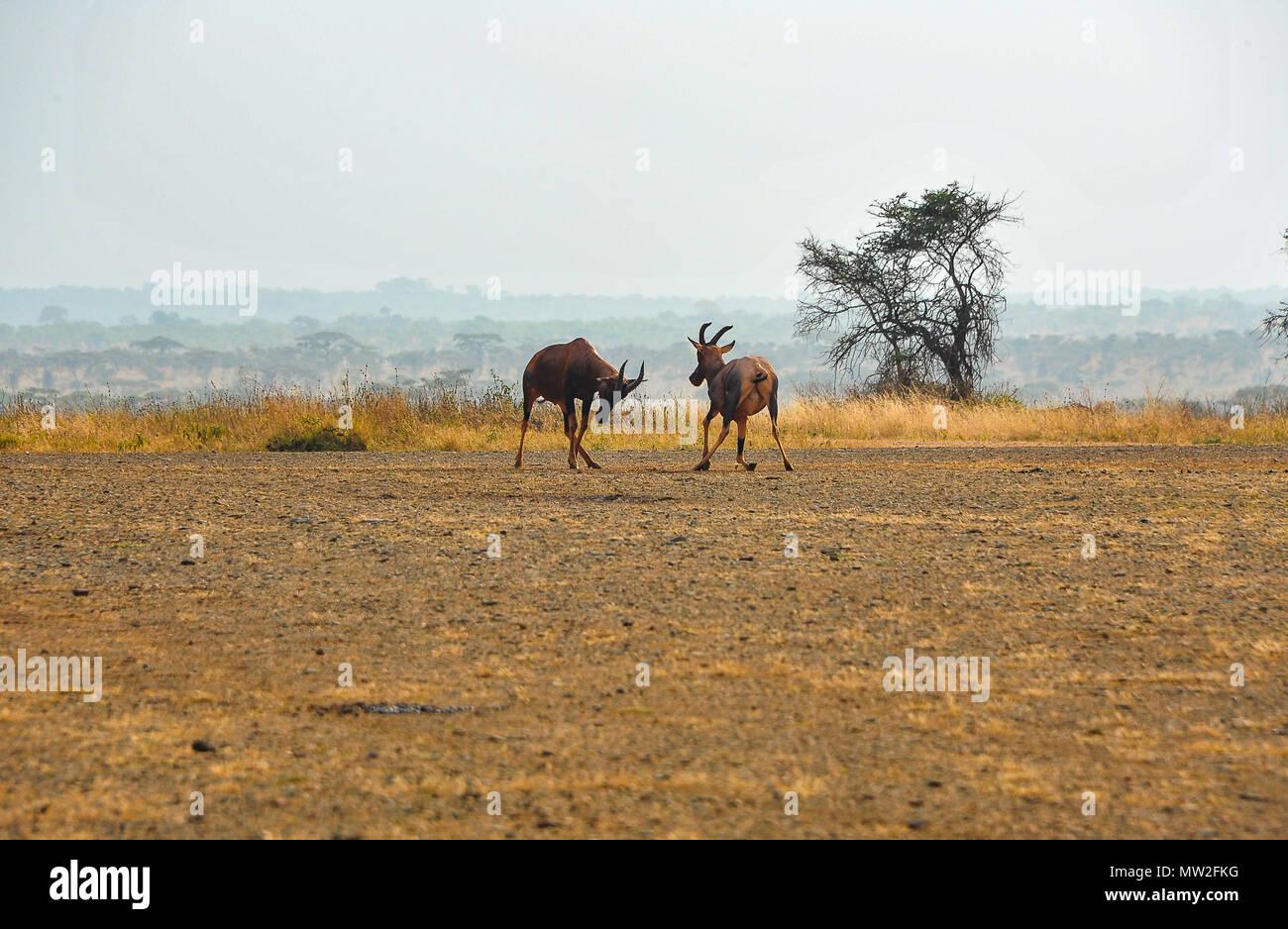 Antílopes Topi (Damaliscus lunatus jimela) lucha por el territorio en un paisaje africano. Dos hombres jóvenes bloquear cuernos en pastos secos Imagen De Stock