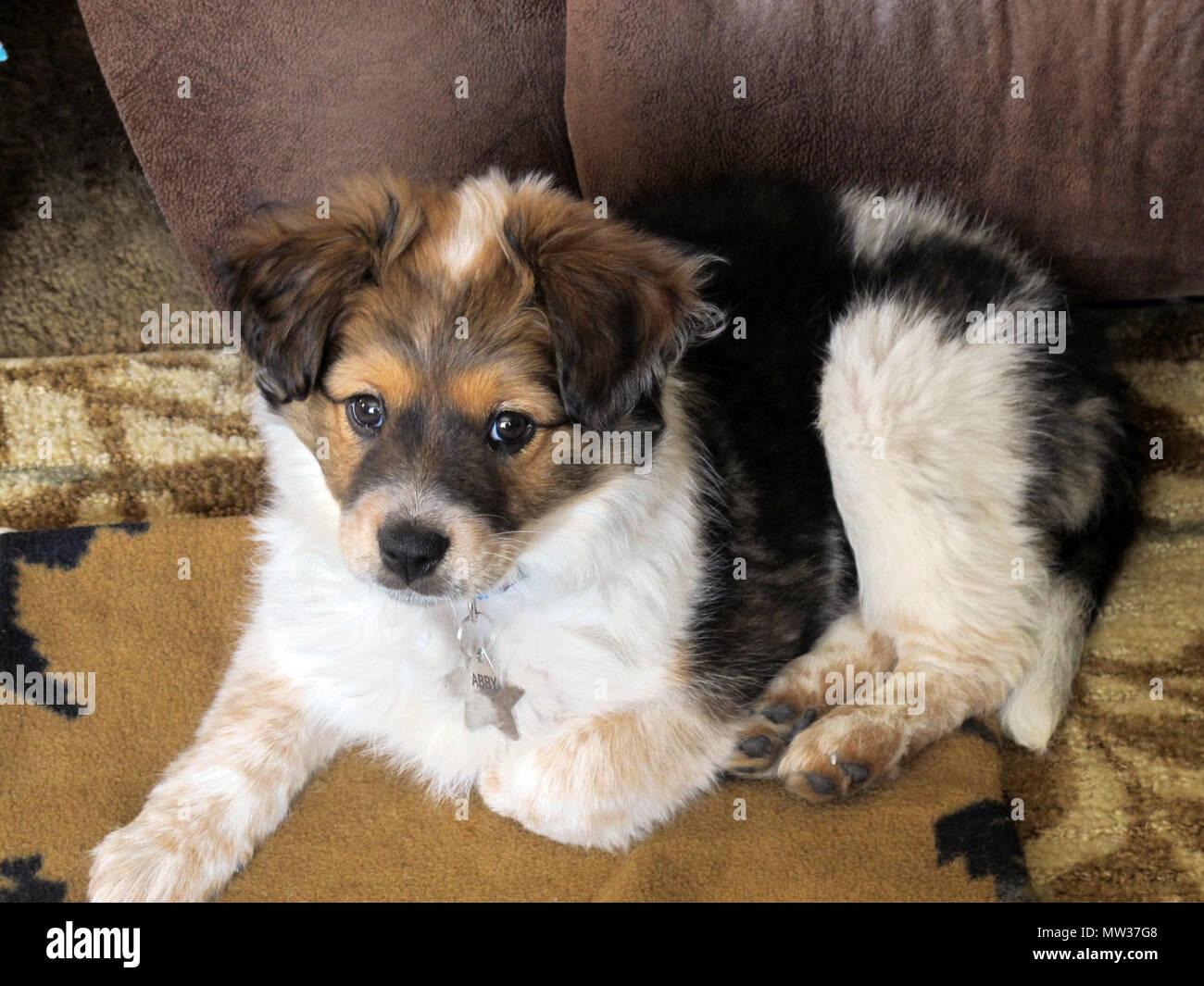 Ojos Brillantes Mini tricolor Aussie cachorro retrato sobre una alfombra Imagen De Stock
