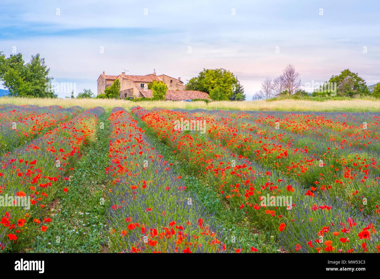 Francia, la región de Provenza, campo de amapolas y lavanda Imagen De Stock