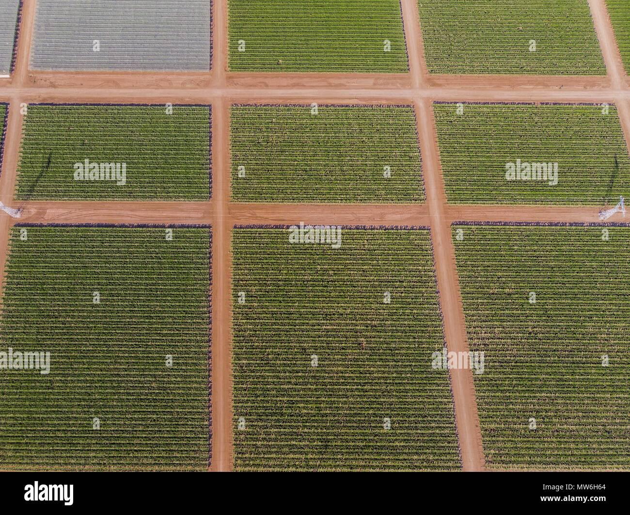 Vista aérea del viñedo en la comunidad de Pesqueira, y Zamora en Sonora, México. Los cultivos. Los campos de uva, hectáreas, Siembra, viñedos. Uva. Foto de stock