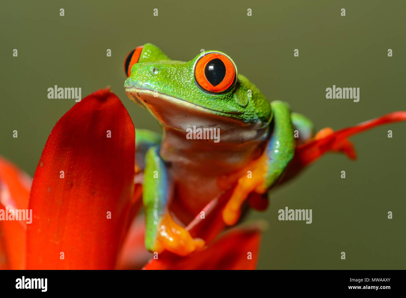La rana arborícola de ojos rojos (Agalychnis callidryas), cautiva, Reptilia zoo de reptiles, Vaughan, Ontario, Canadá Foto de stock
