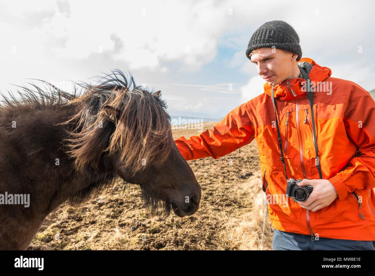 El hombre acariciando brown caballo islandés (Equus islandicus), el sur de Islandia, Islandia Imagen De Stock