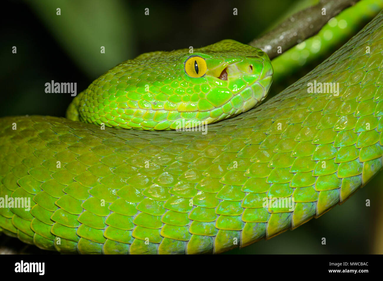 Blanco-labiado (pit viper Trimeresurus albolabris) cautivos. Endémica del Sudeste de Asia, Reptilia zoo de reptiles, Vaughan, Ontario, Canadá Imagen De Stock