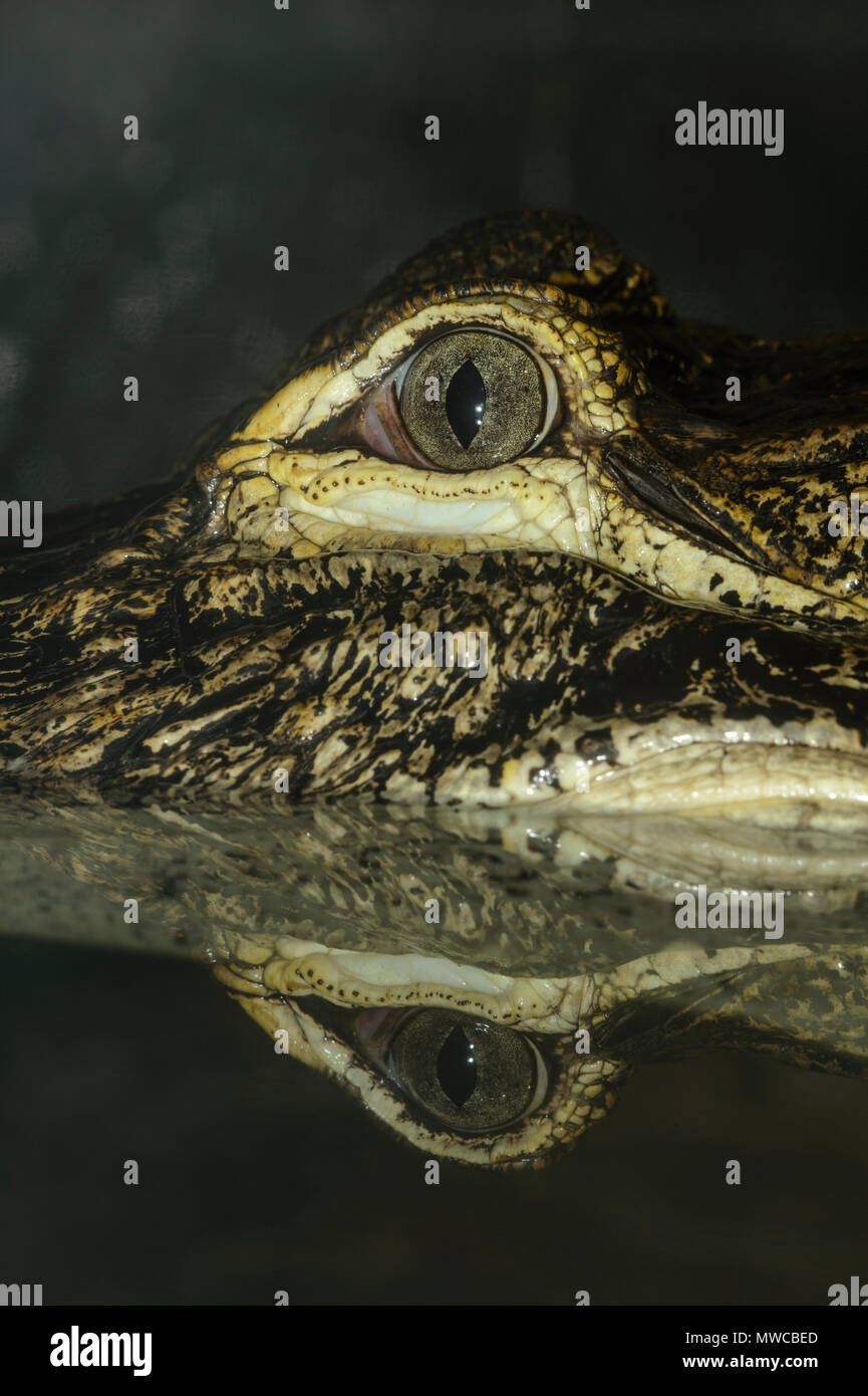 Cocodrilo Americano (Alligator mississipiensis), cautiva, Reptilia zoo de reptiles, Vaughan, Ontario, Canadá Foto de stock