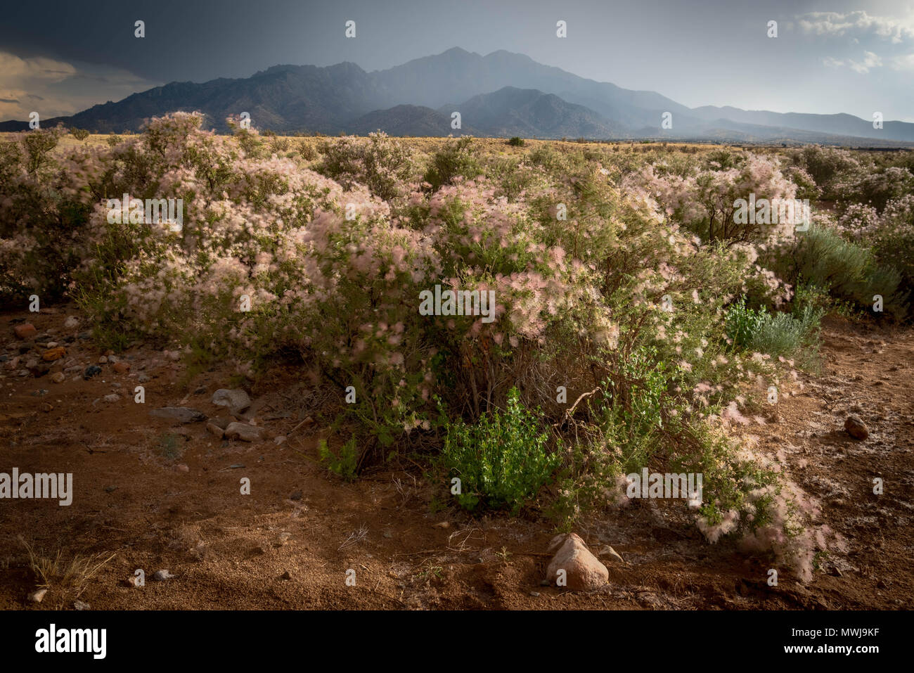 Apache Plume (Fallugia paradoxa), Sierra ladrones, Socorro Co.,New Mexico, USA. Foto de stock