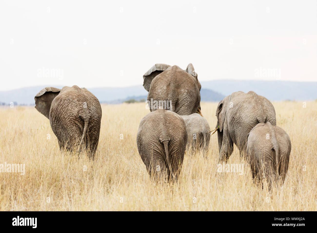 Familia de elefante africano (Loxodonta africana), el Parque nacional Serengeti, Sitio del Patrimonio Mundial de la UNESCO, Tanzania, África oriental, África Imagen De Stock
