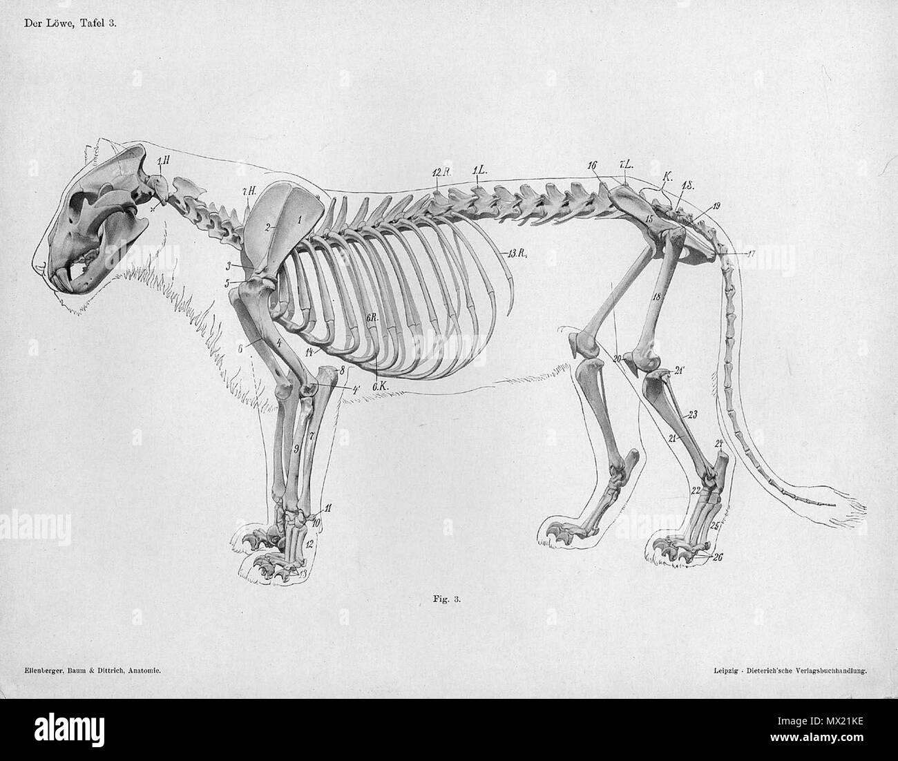 """. Anatómica Animal grabado de Handbuch der Anatomie der Tiere für Künstler"""" - Hermann Dittrich, Illustrator. 1889 y 1911-1925. Wilhelm Ellenberger y Hermann Baum 373 Lion anatomía esqueleto vista lateral Foto de stock"""