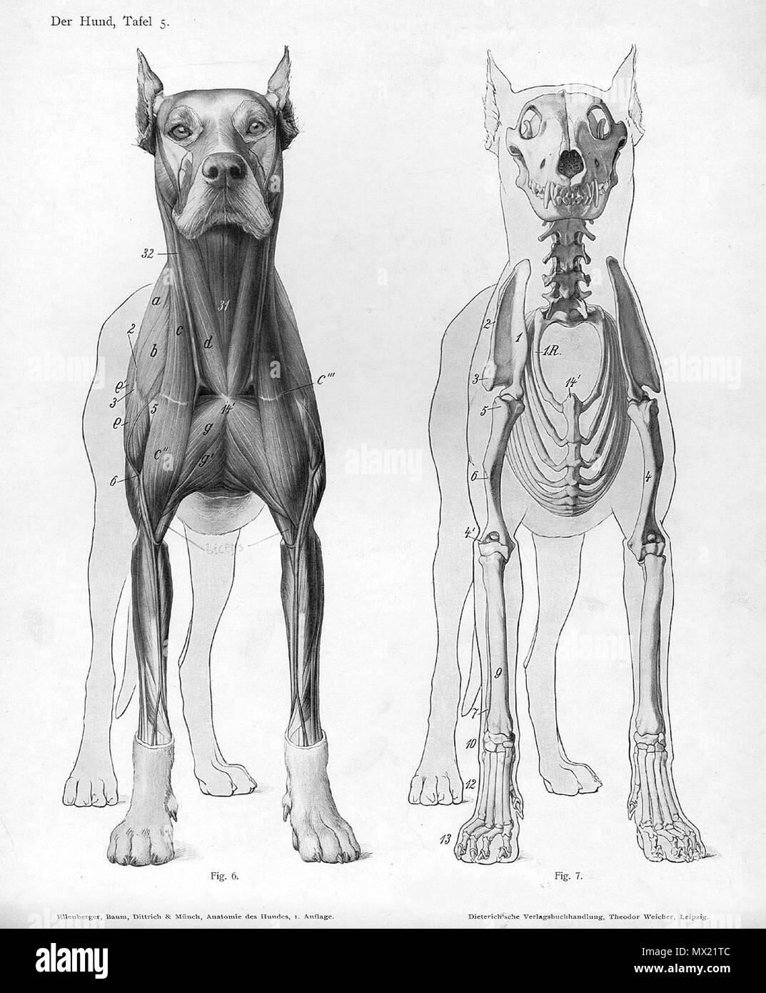 """. Anatómica Animal grabado de Handbuch der Anatomie der Tiere für Künstler"""" - Hermann Dittrich, Illustrator. 1889 y 1911-1925. Wilhelm Ellenberger y Hermann Baum 166 Anatomía del perro vista anterior Foto de stock"""
