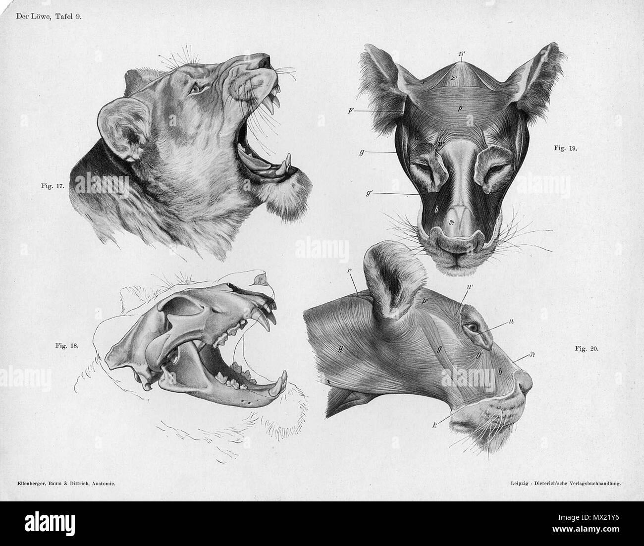 """. Anatómica Animal grabado de Handbuch der Anatomie der Tiere für Künstler"""" - Hermann Dittrich, Illustrator. 1889 y 1911-1925. Wilhelm Ellenberger y Hermann Baum 373 anatomía cabeza de león Foto de stock"""