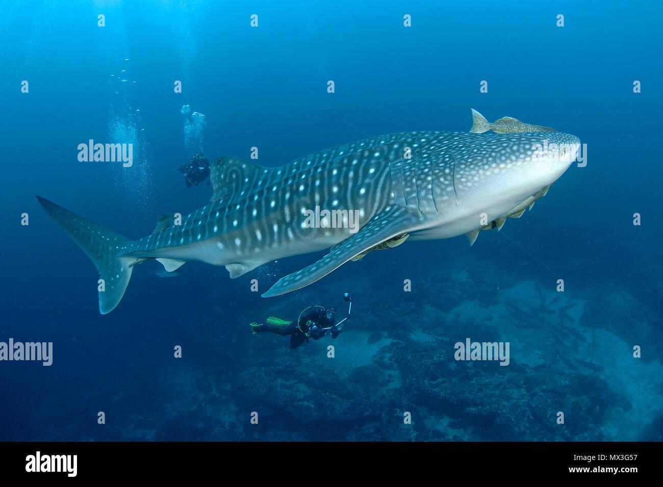 Scuba Diver ver un tiburón ballena (Rhincodon typus), el pez más grande del mundo, la Isla del Coco, Costa Rica, América Central, América Foto de stock