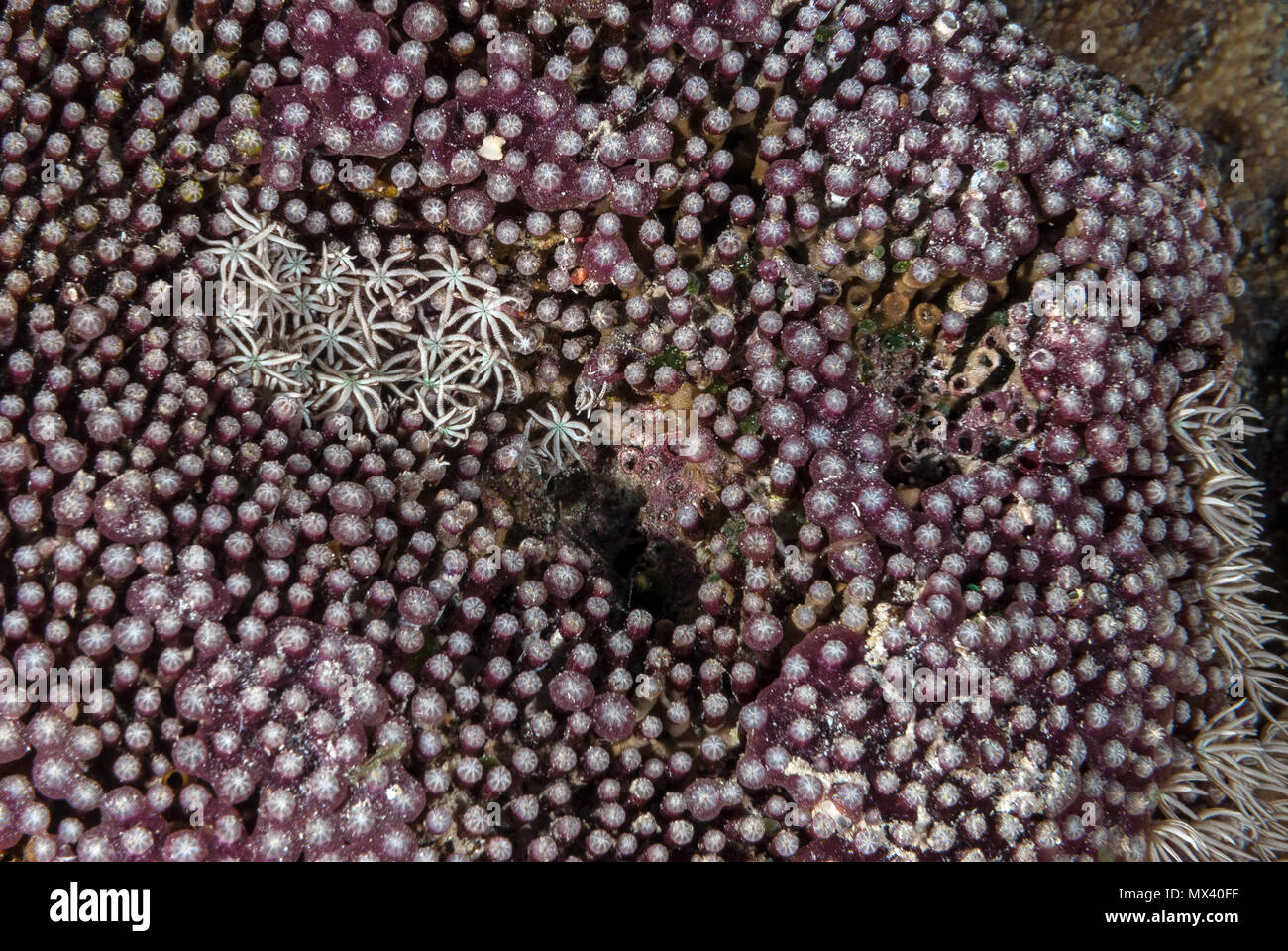 Tuboipora Organpipe Coral, musica, Tubiporidae, Sharm el-Sheik, Mar Rojo, Egipto Imagen De Stock