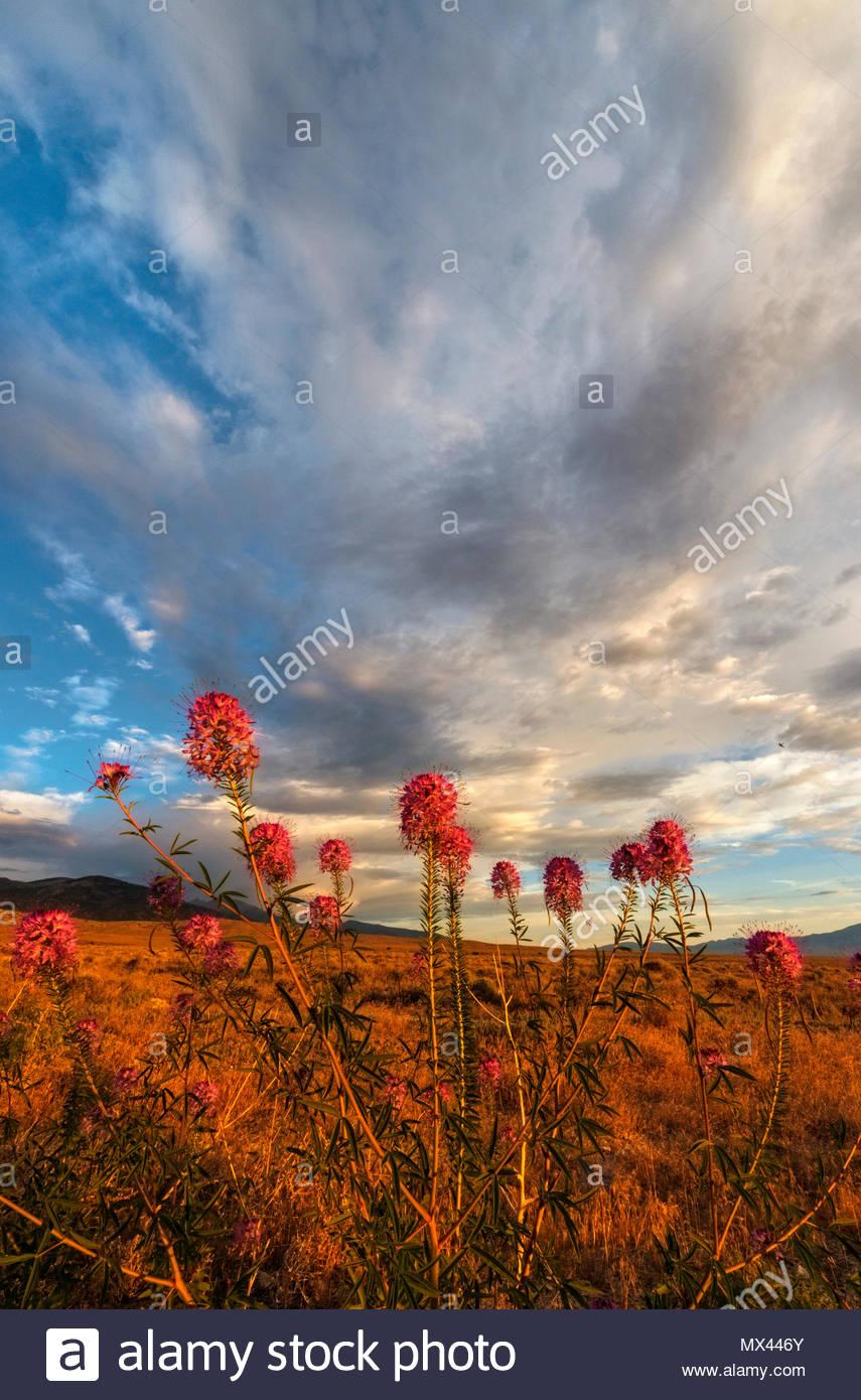 Rocky Mountain Bee Planta, Mañana nubes y el rango de serpiente, la BLM Tierras, White Pine County, Nevada Imagen De Stock