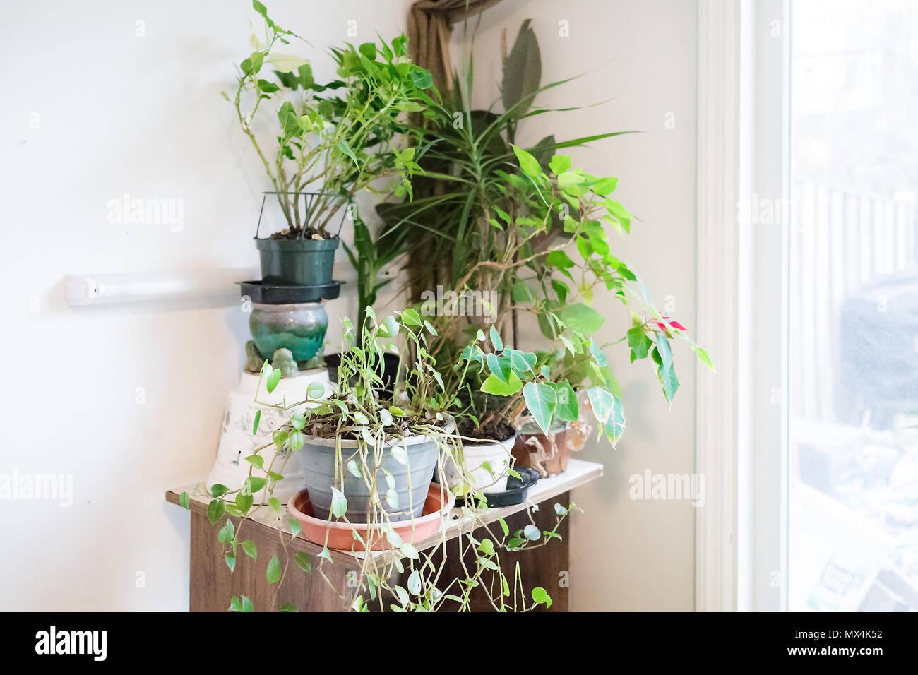 Jardín verde y plantas de interior en invierno por la ventana de la puerta de traspatio en el sótano de la casa de estante de madera, con luz LED Foto de stock