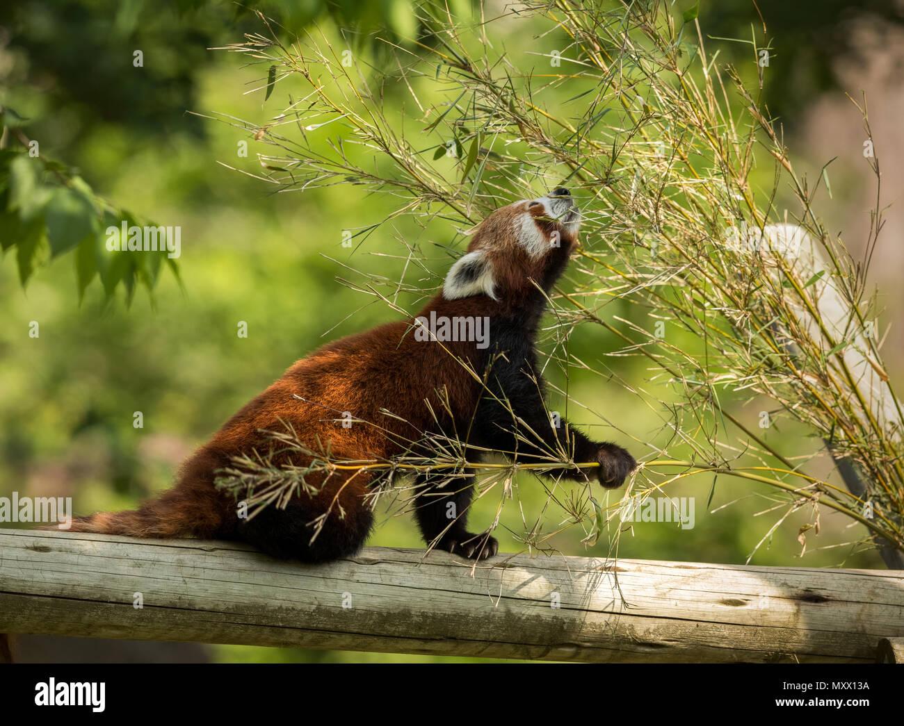 Animal lindo, uno rojo oso panda comiendo bambú. Animal sentado en un registro, sosteniendo una rama de bambú mientras que se extendía hacia las hojas verdes. Bosque verde en el fondo. Foto de stock