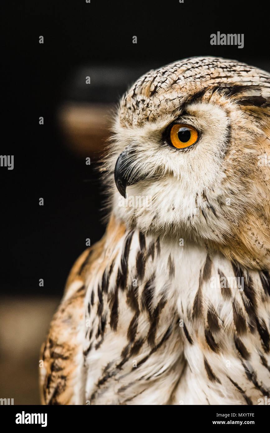 Búho Águila euroasiático. Imagen De Stock
