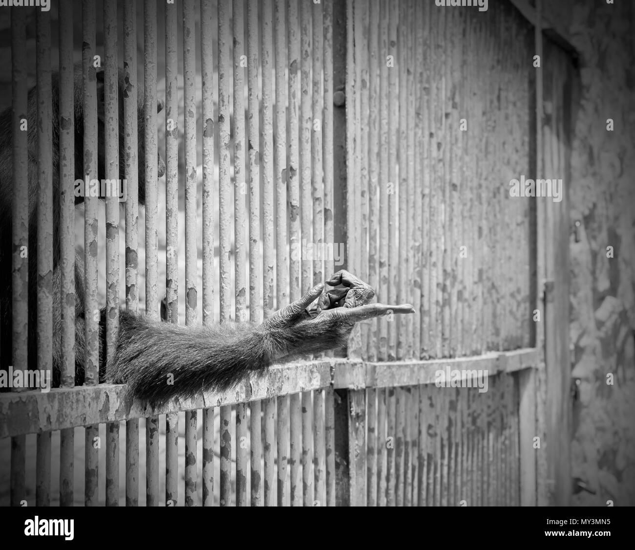 Brazo extendido del mono de la jaula. Tonos de blanco y negro. El problema del comercio ilegal de vida silvestre. Imagen De Stock