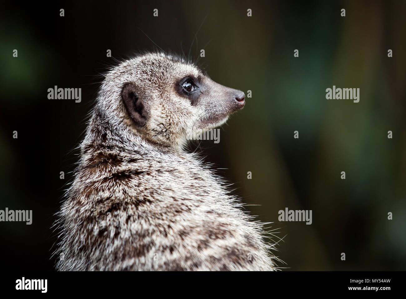 Suricata o animal Imagen De Stock