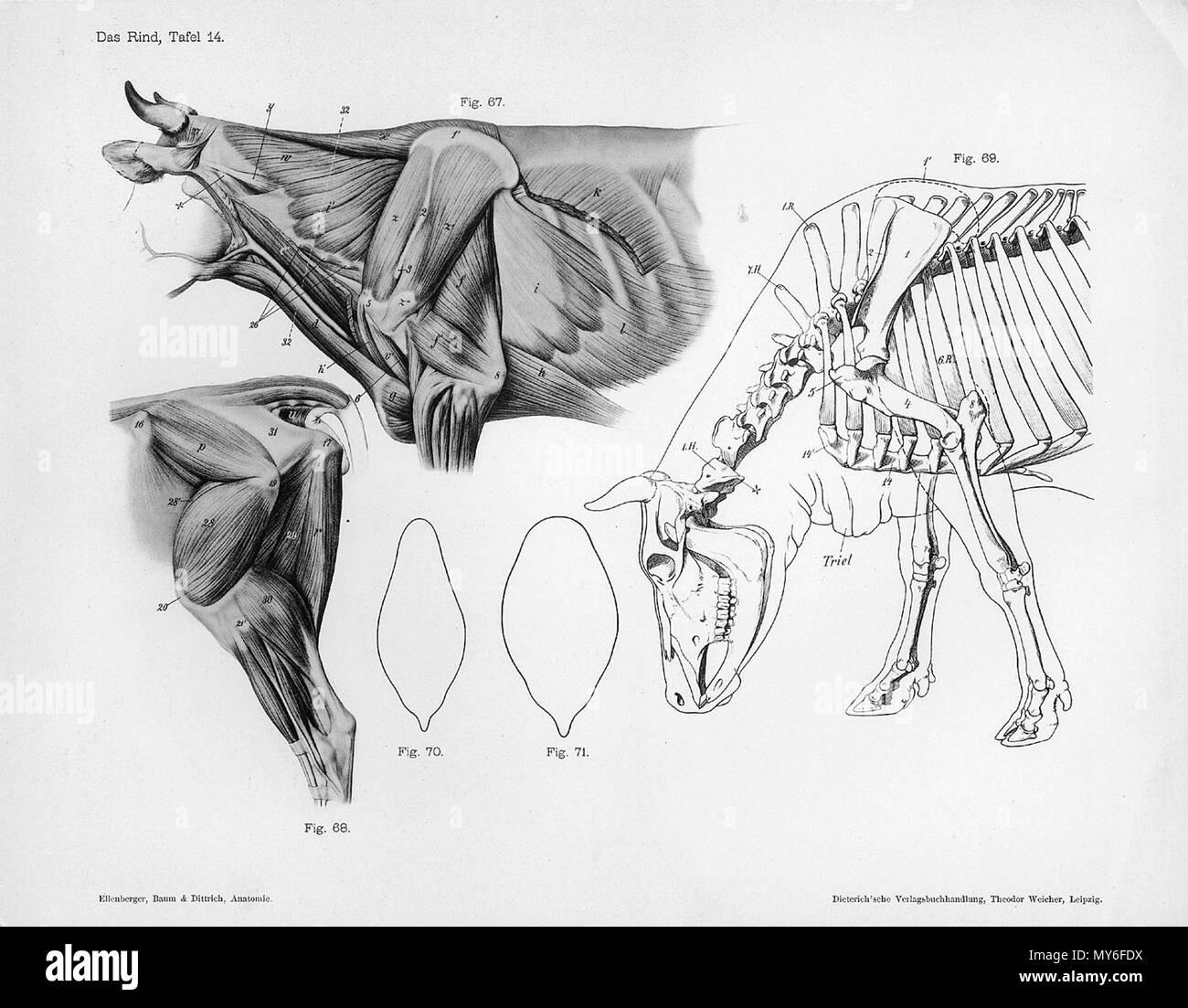 . Anatómica Animal grabado de Handbuch der Anatomie der Tiere für Künstler - Hermann Dittrich, Illustrator. 1889 y 1911-1925. Wilhelm Ellenberger y Hermann Baum 126 Vaca musculatura anatomía Foto de stock