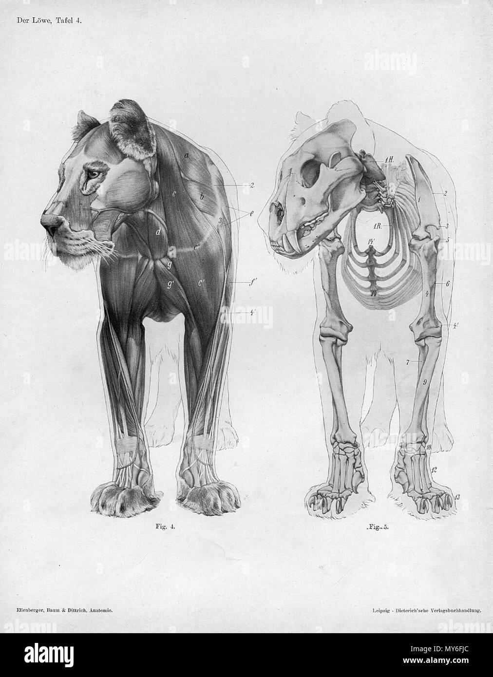 """. Anatómica Animal grabado de Handbuch der Anatomie der Tiere für Künstler"""" - Hermann Dittrich, Illustrator. 1889 y 1911-1925. Wilhelm Ellenberger y Hermann Baum 325 anatomía León vista anterior Foto de stock"""