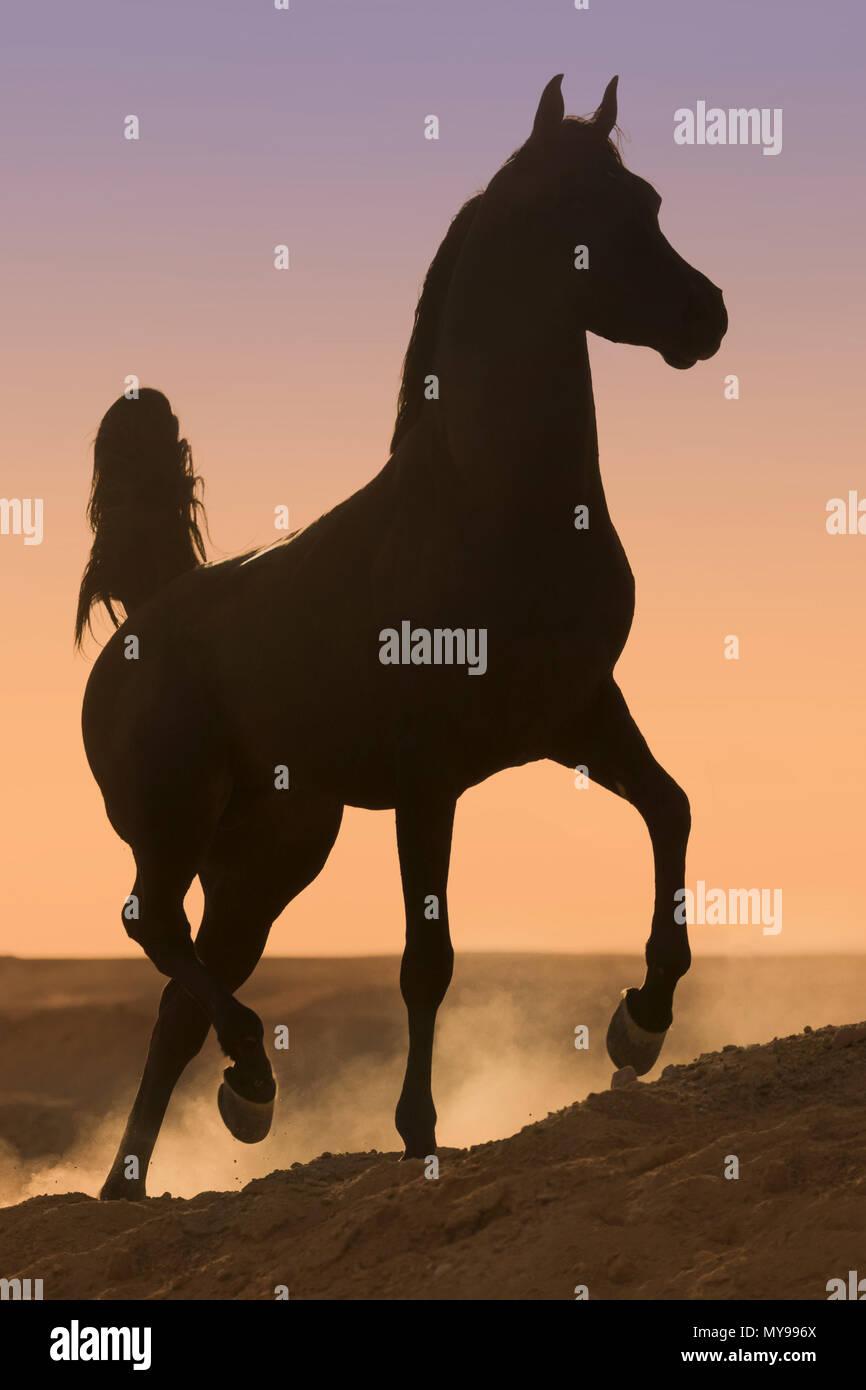 Arabian Horse. Semental negro al trote en el desierto, siluetas contra el cielo nocturno. Egipto Imagen De Stock