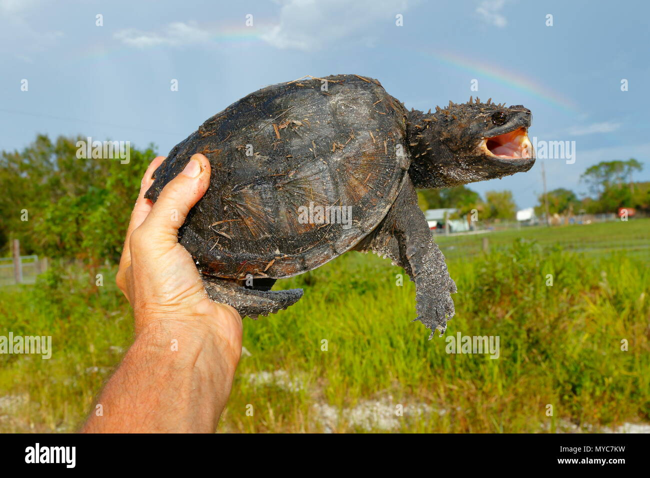 Un ajuste de la Florida, tortugas Chelydra s. Osceola, mantenidos por la mano dónde se encuentra en una carretera. Imagen De Stock