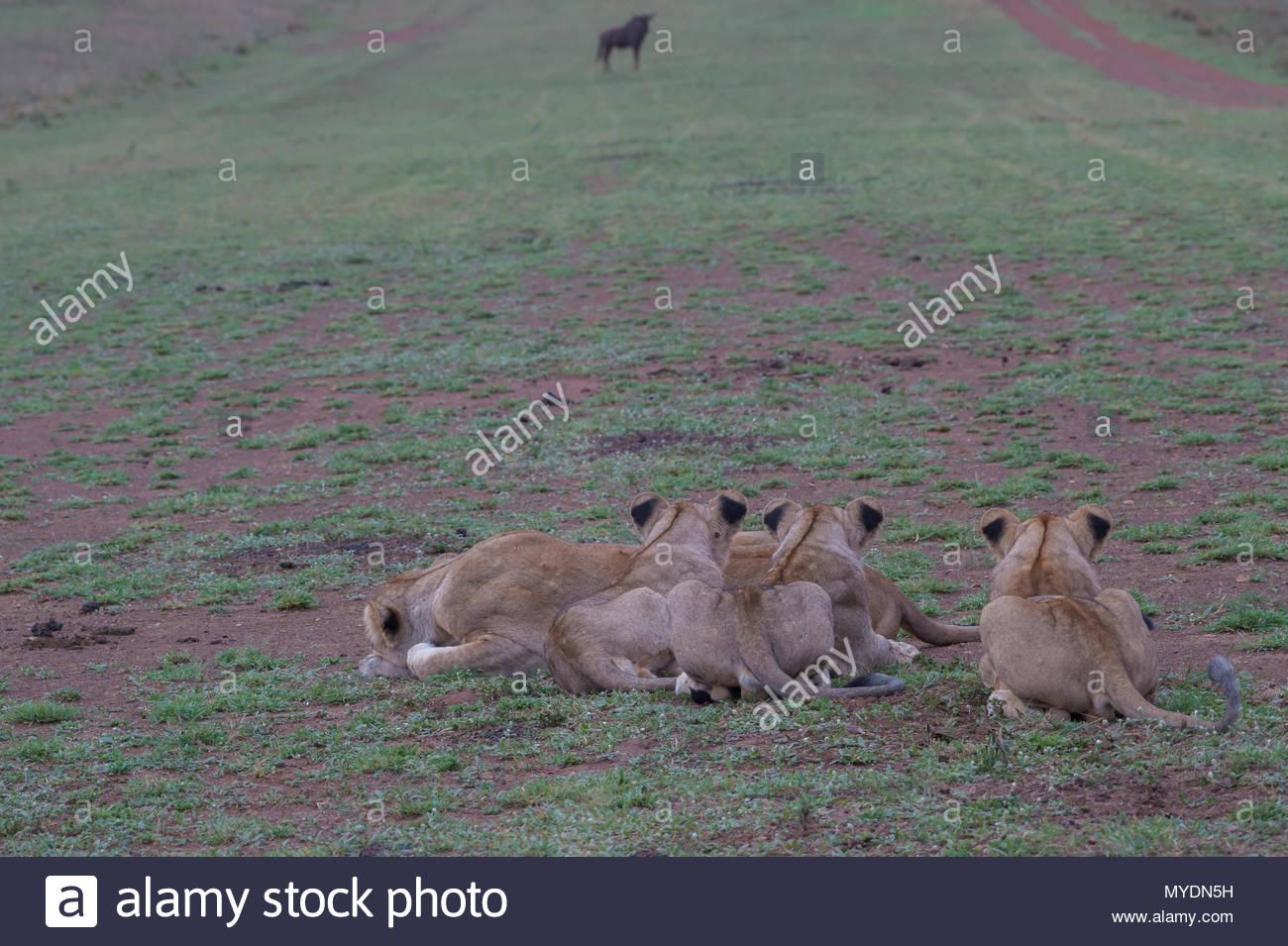 Los leones crouch en espera de los ñus. Imagen De Stock