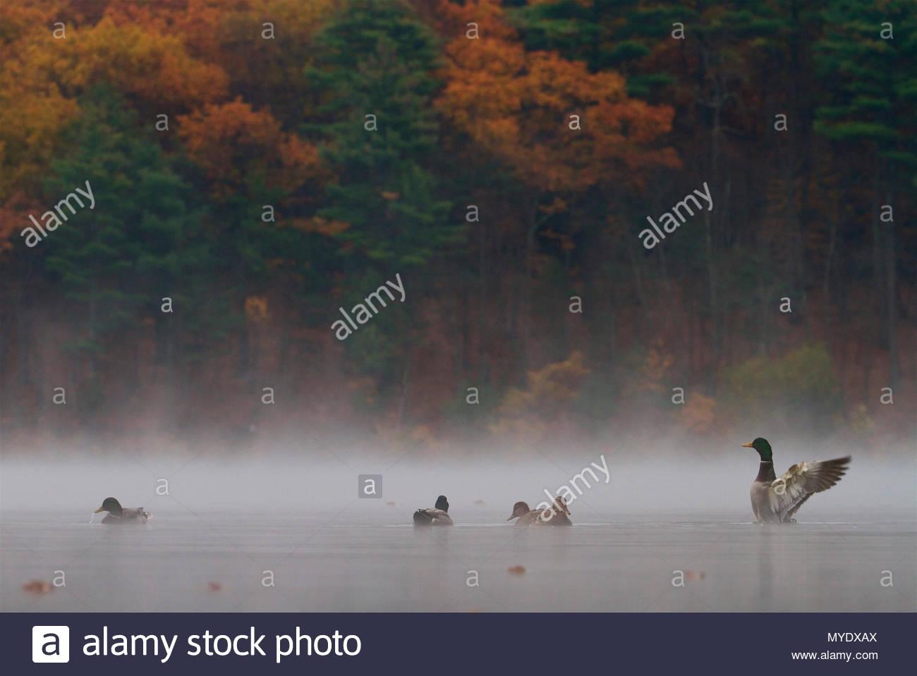Ánades reales, Anas platyrhynchos, en la niebla de la mañana. Imagen De Stock