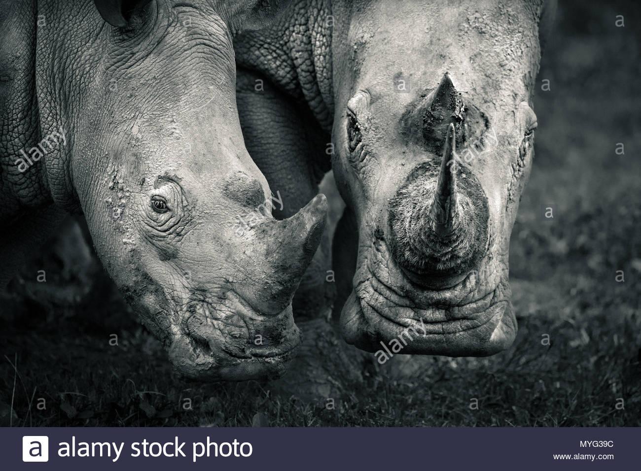 Una madre y su becerro rinoceronte blanco meridional en Solio santuario de rinocerontes. Imagen De Stock