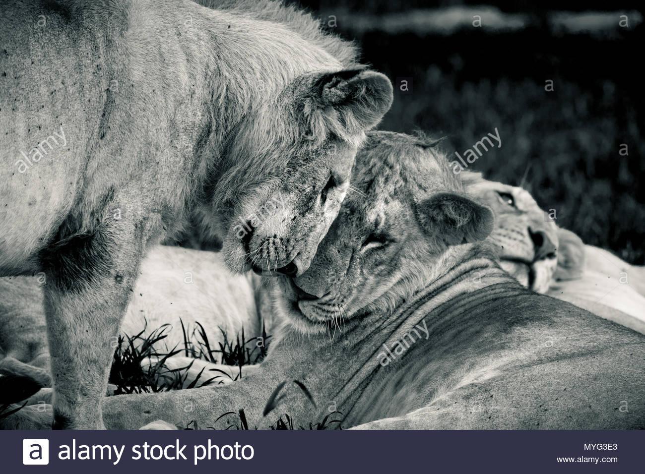 Los leones salúdense los unos a los otros en el santuario de rinocerontes de Solio. Imagen De Stock