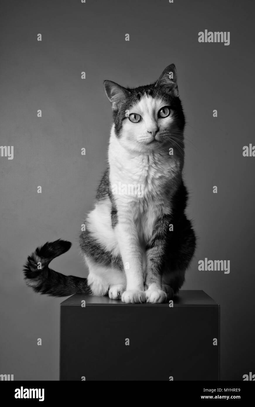 01a953d225e Retrato en blanco y negro de un gato atigrado mirando curioso a la cámara.  Imagen
