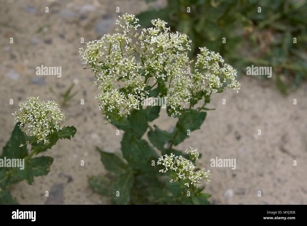 Lepidium draba Foto de stock