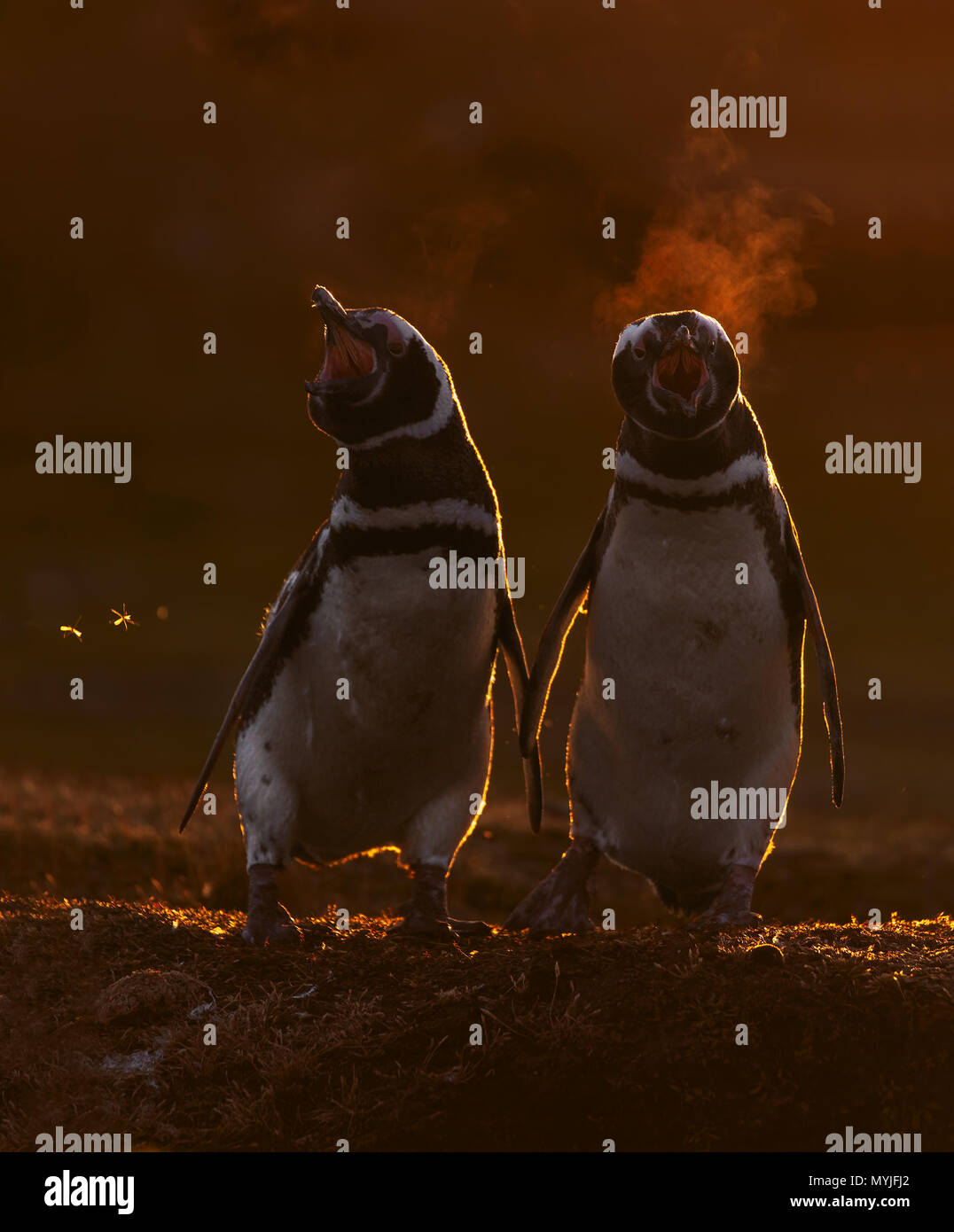 Pingüino de Magallanes Foto de stock