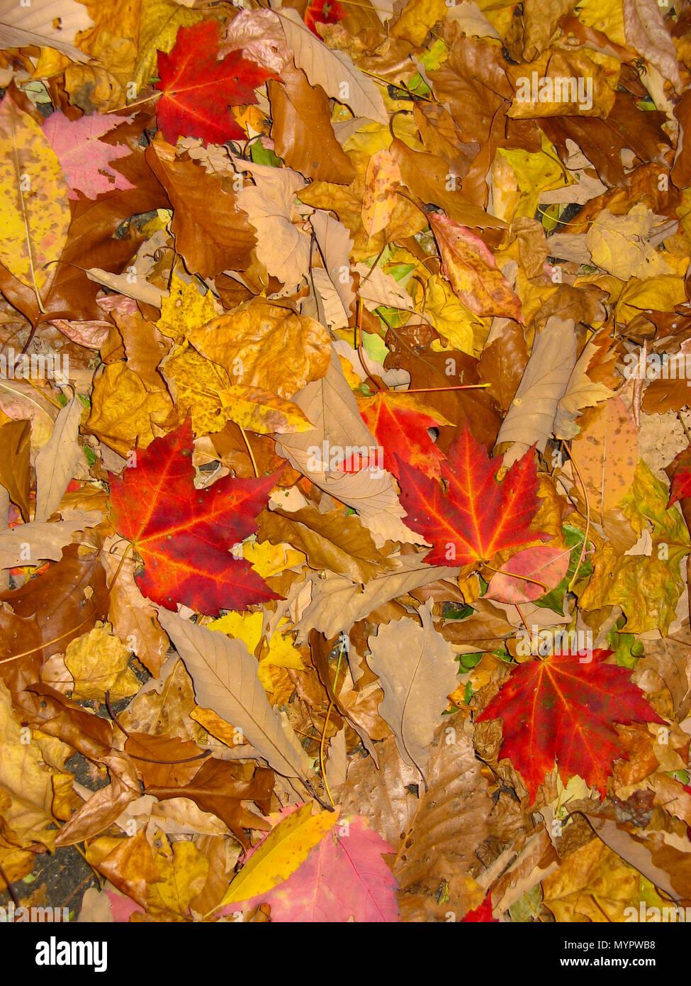 Coloridas hojas de otoño sobre el piso del bosque Foto de stock