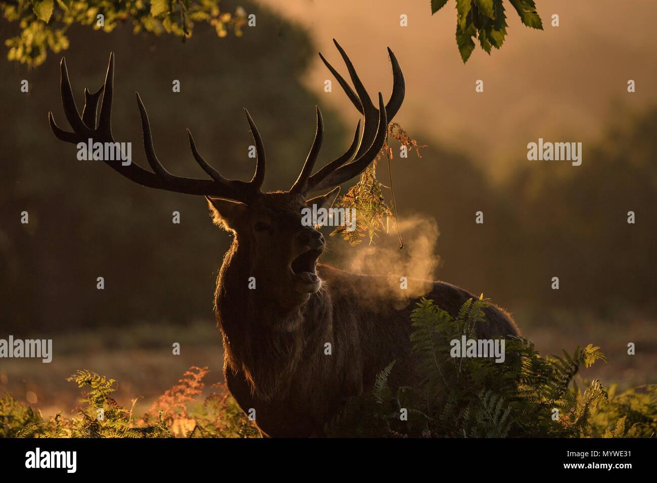 El Ciervo macho durante la época de celo Imagen De Stock