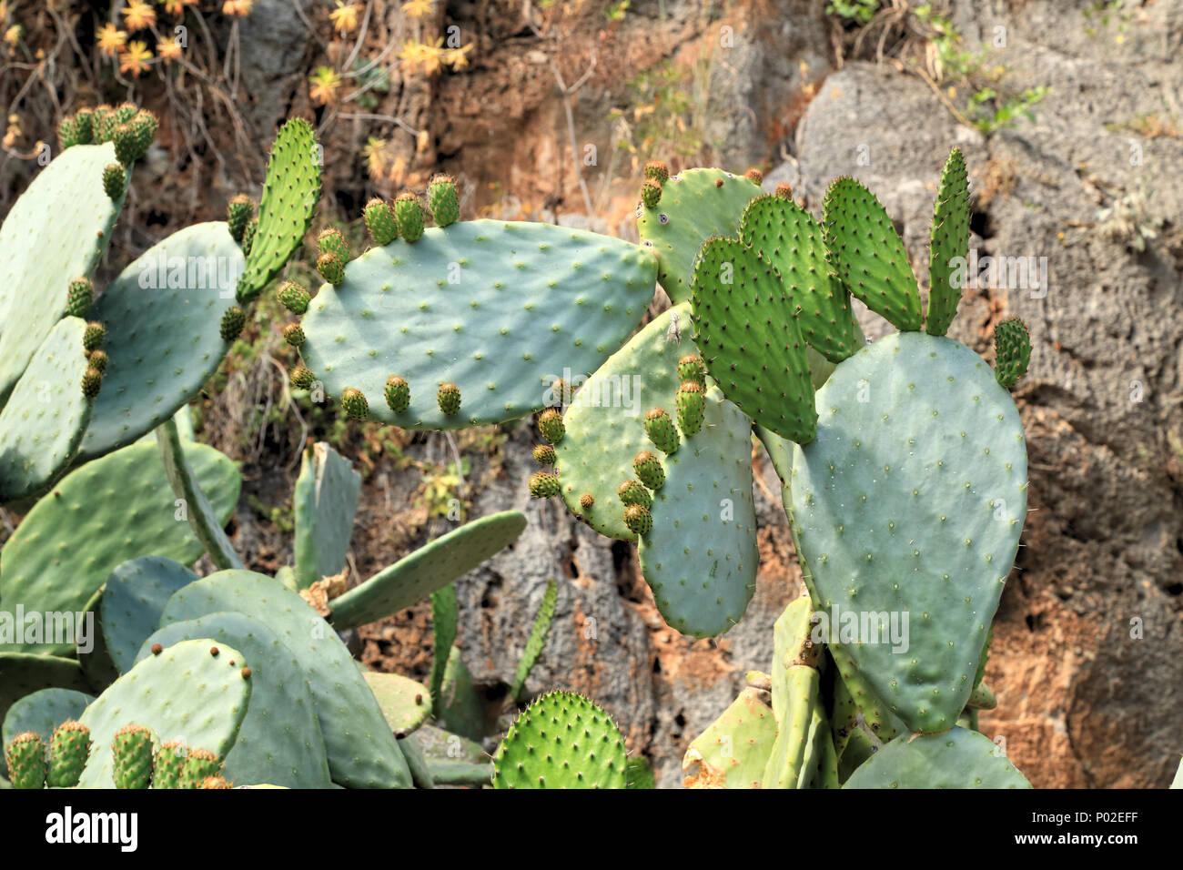 Nuevo cactus Opuntia bud deja pad Imagen De Stock