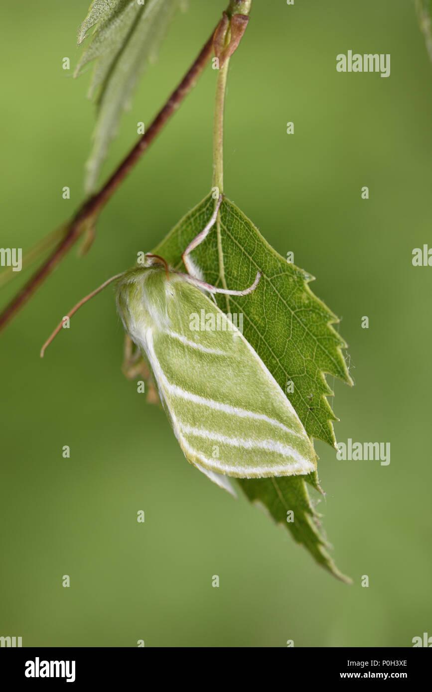 Verde-plateado líneas - Pseudoips prasinana Imagen De Stock