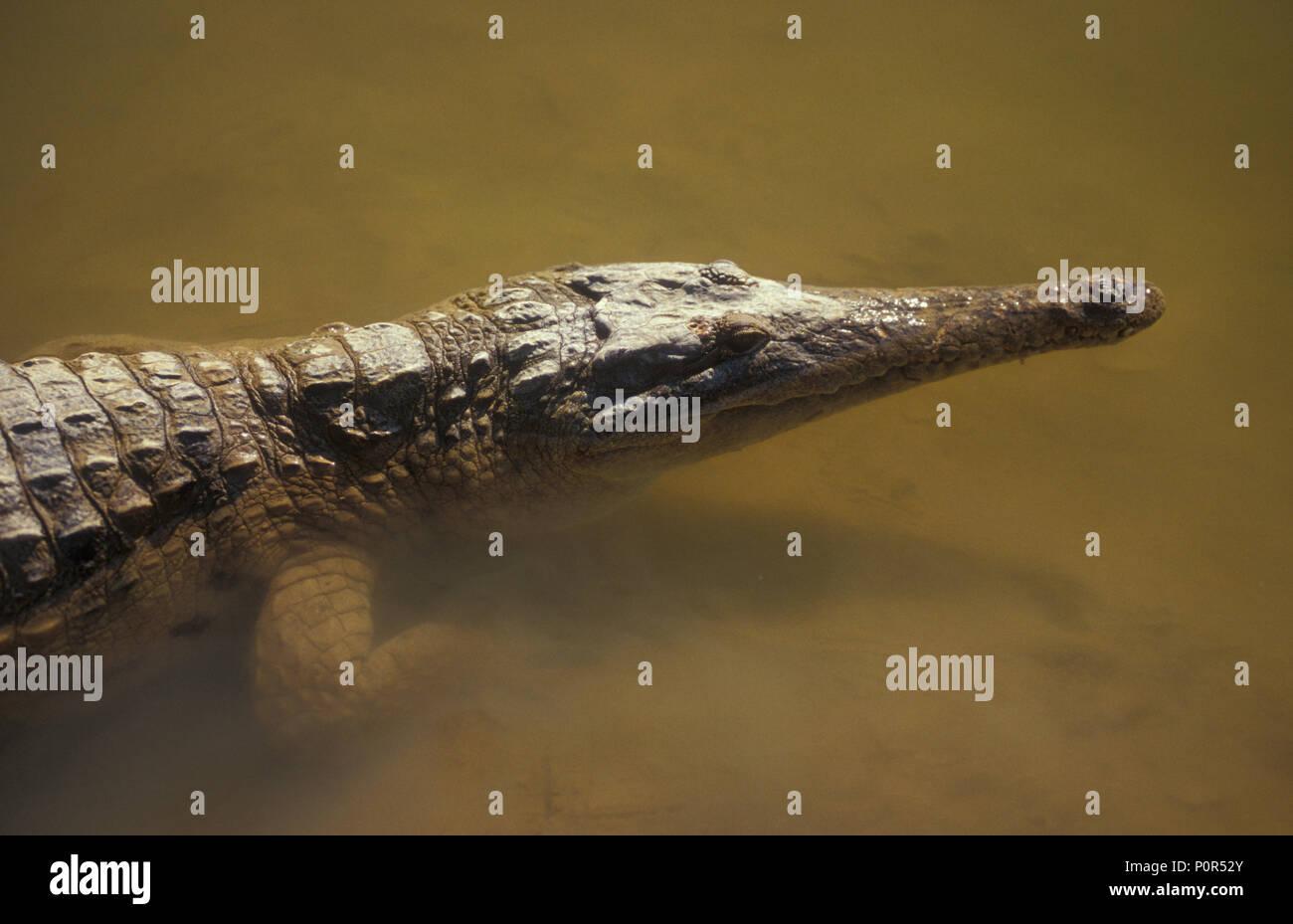 Cocodrilos de agua dulce conocida como 'FRESHIE' (Crocodylus JOHNSTONI) WINDJANA Gorge, Australia Occidental Imagen De Stock