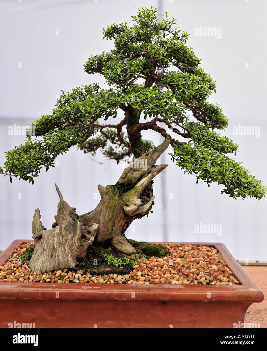Los Bonsais O Bandeja De Siembra Arte Japones De Cultivar Arboles - Arboles-pequeos