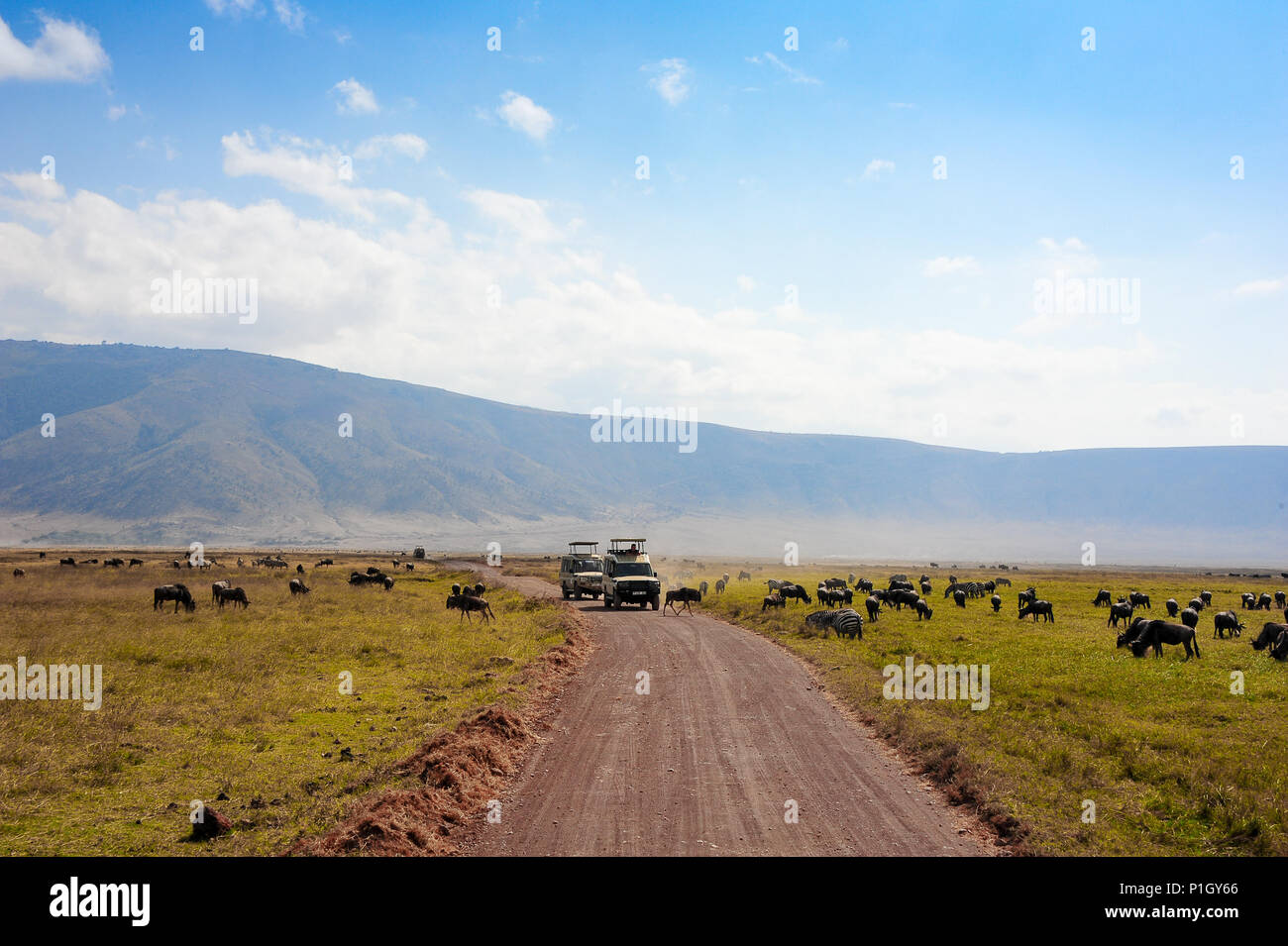 Los ñus y cebras pastan en una llanura polvorienta enfrente de espera de vehículos de safari. El Parque nacional Ngorongoro, Tanzania, África Imagen De Stock