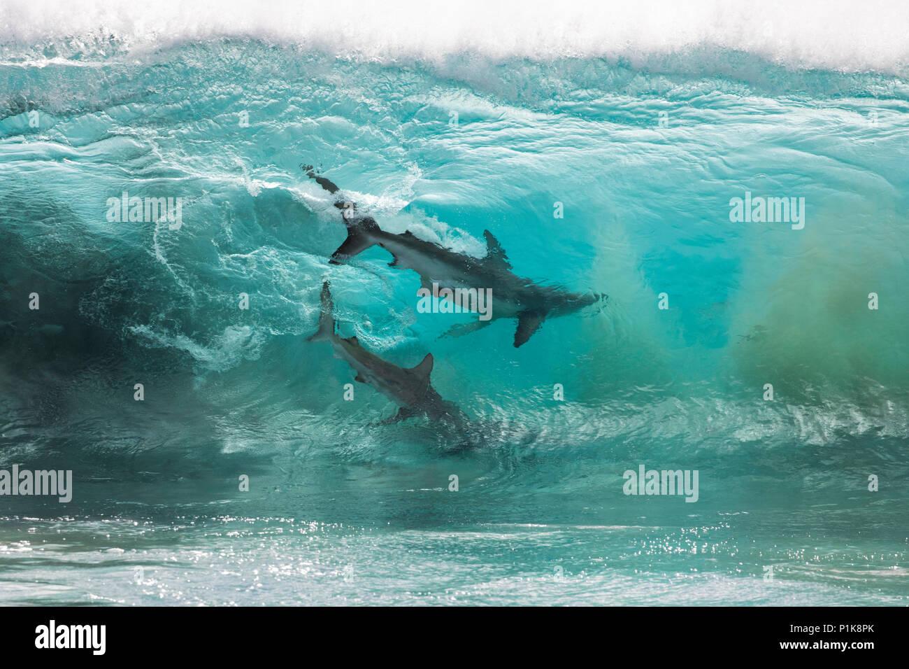 Tiburones alimentándose de una bola de cebo en el Rompiendo las olas del océano, Carnarvon, en Australia Occidental, Australia Foto de stock