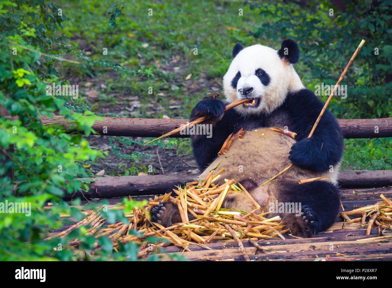 Panda gigante comiendo bambú acostada sobre la madera en Chengdu, provincia de Sichuan, China Imagen De Stock