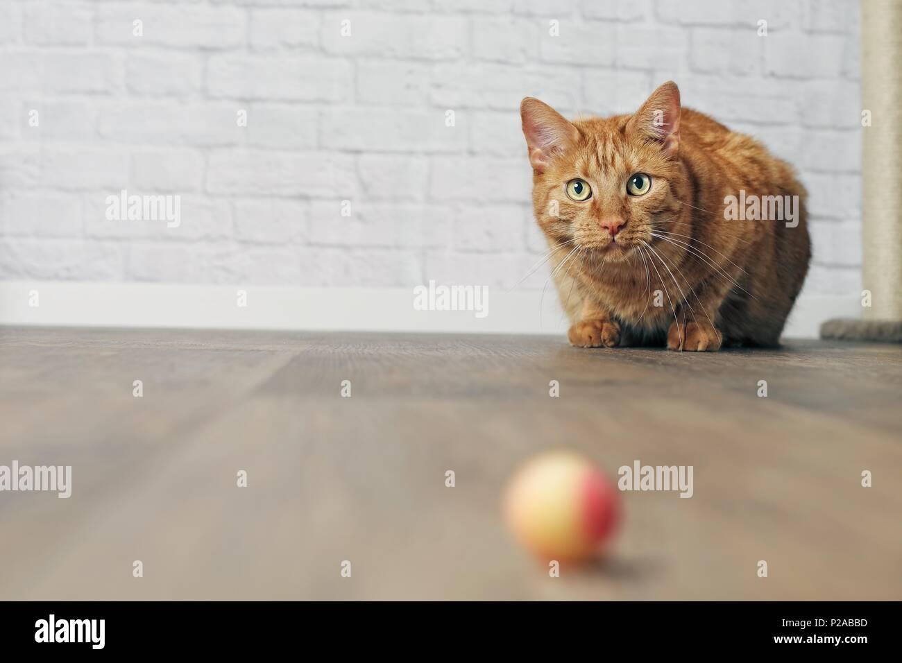 Jengibre lindo gato en el acecho. Imagen De Stock