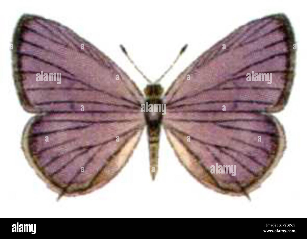. Leptotes plinius pseudocassius . Organización de Investigación Científica e Industrial del Commonwealth (CSIRO) 31 Leptotes plinius pseudocassius Foto de stock