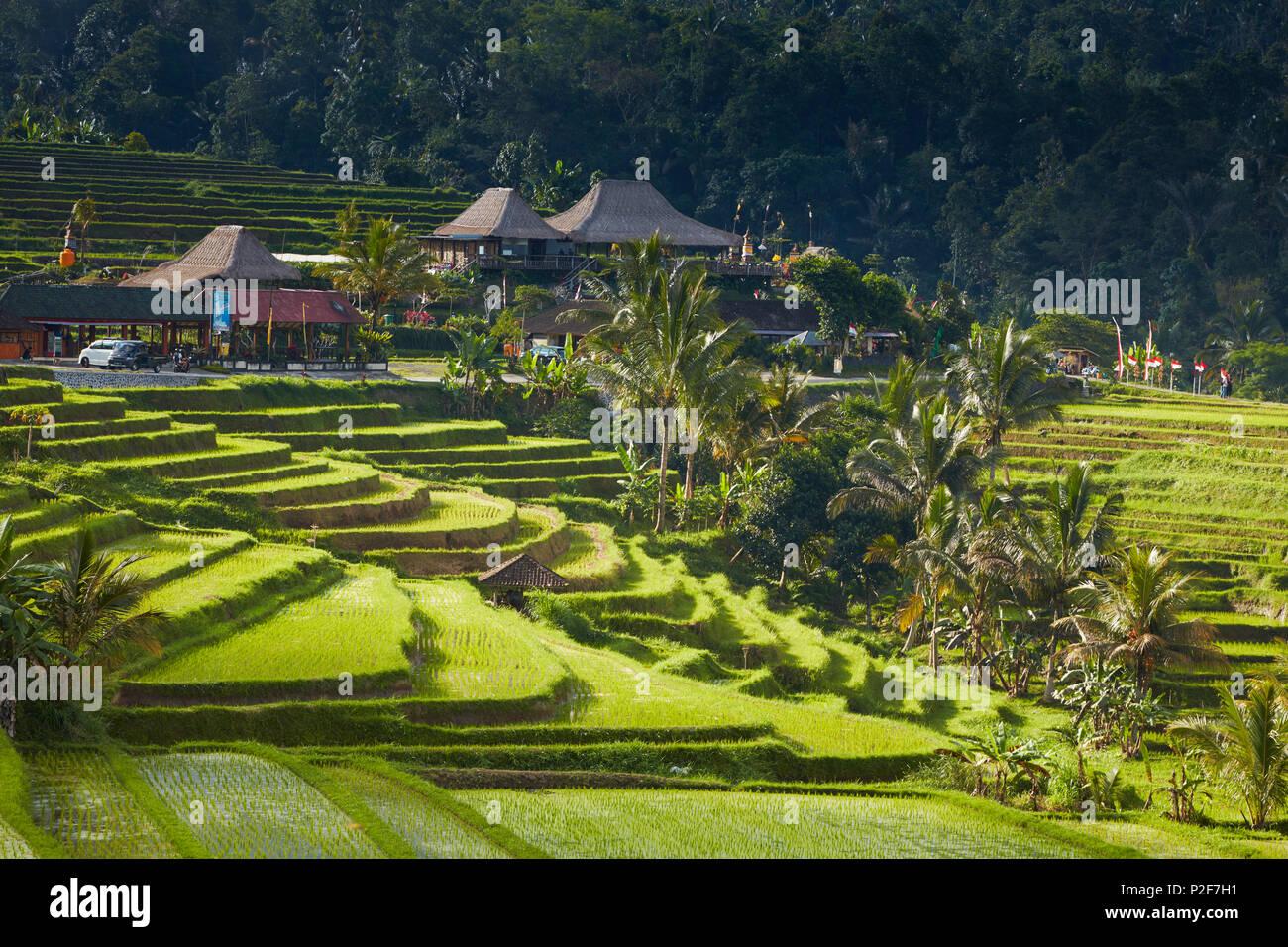 Terrazas de arroz, Bali, Indonesia Jatiluweh Imagen De Stock